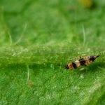 Control de plagas: descubren el genoma de los trips