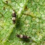 En hortícolas y frutales, las plagas se llevan un botín