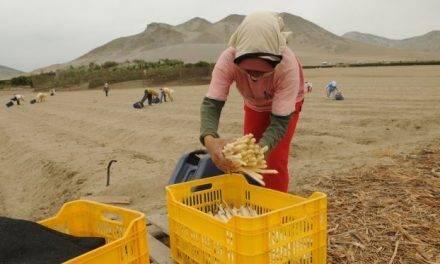 El espárrago blanco en España: la realidad en el campo y en los supermercados