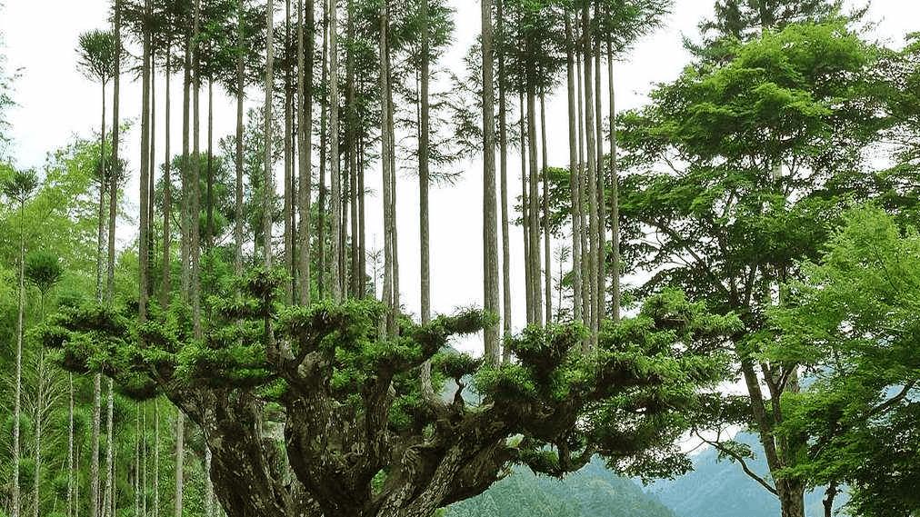 Daisugi: técnica ancestral japonesa para producir árboles sobre otros árboles
