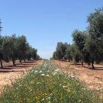 El uso de cubiertas vegetales en la lucha contra Xylella fastidiosa