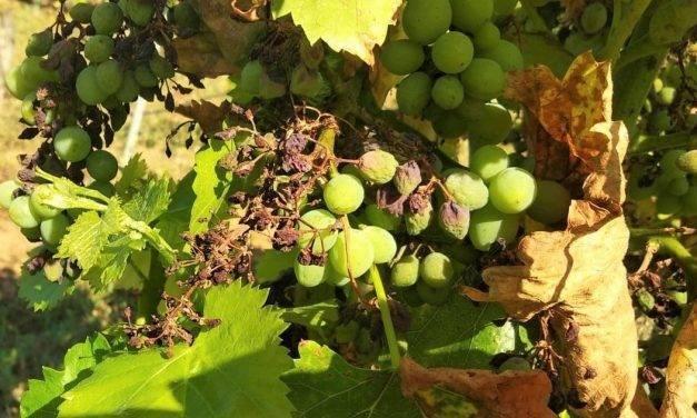 Un nuevo proyecto reducirá el impacto negativo de los pesticidas en viñas y olivos