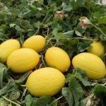 Fitó es la referencia en Almería de melón amarillo, galia, cantaloup y sandía