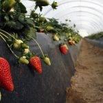 """Nueva publicación: """"Plagas y enfermedades comunes a los frutos rojos en la provincia de Huelva"""""""