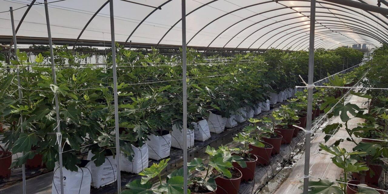 Cultivo intensivo de higuera en invernadero