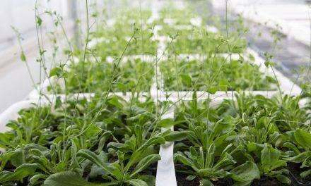 Descubierta una nueva estrategia para lograr plantas más tolerantes a la salinidad