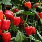 Sakata presenta SIBAC, el pimiento para el agricultor de Almería