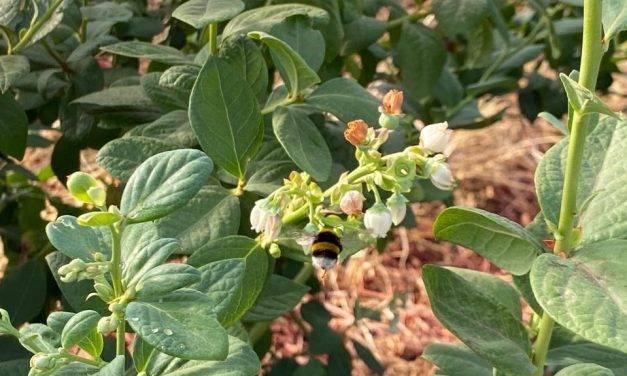 Cultivo de arándano en España: Multi-Hive, el método de polinización efectivo