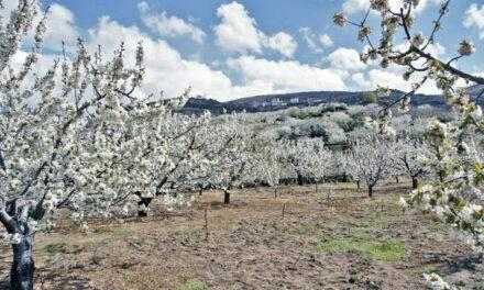 Cultivo de cerezo: el riego deficitario controlado, mejora el rendimiento en cantidad y calidad