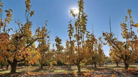 Proyecto Dikacoval: mejora del cultivo de caqui en la Comunidad Valenciana