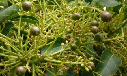 Effect of flowering reduction with gibberellic acid on avocado production