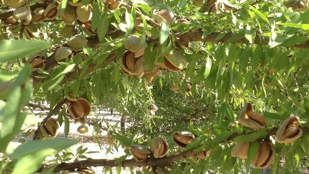 La mejora genética del almendro tiene su origen en solo 2 líneas genéticas y 3 variedades
