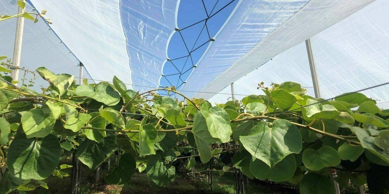 Cultivo de cerezo: las pantallas protectoras de Arrigoni aseguran soluciones efectivas