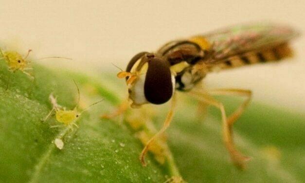 Nueva alternativa de control biológico para pulgón en frutos rojos