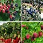 Frutos rojos: PRÓXIMO LIBRO: «Cultivo, poscosecha, procesado y comercio de berries»