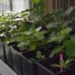 Cultivo de higo: Un proyecto seleccionará variedades resistentes a sequía y suelos salinos