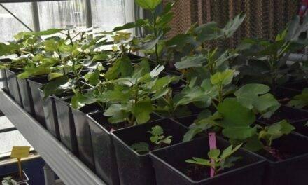 Cultivo de higo: Un proyecto de colaboración internacional, seleccionará variedades resistentes a sequía y suelos salinos