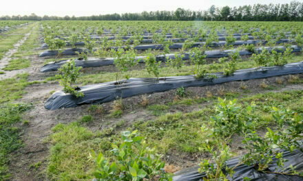 Fertilizing blueberries is the key to high yields