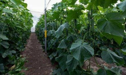 Abeto, con genética SmartQ, es el pepino holandés más eficaz contra el virus CGMMV