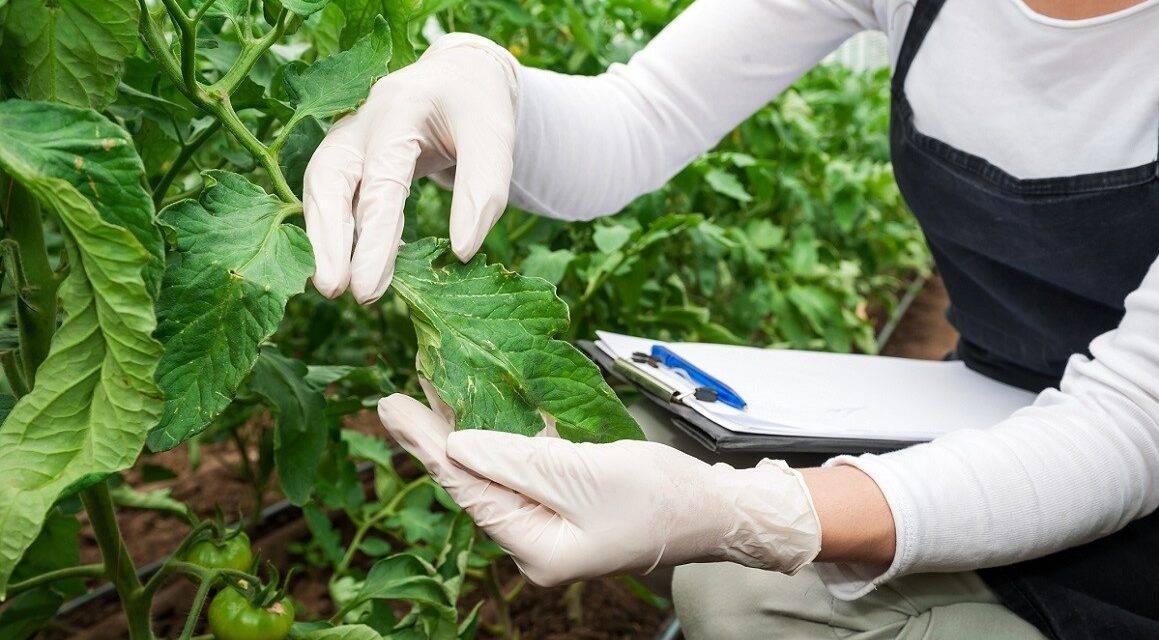 Virus vegetales: descubren que su comportamiento varía según el estado del huésped