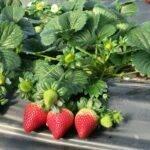 El Pinar refuerza su posicionamiento en fresa con nuevas variedades