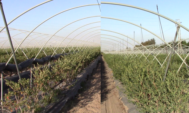 """Soluciones en Peróxido de hidrógeno """"in situ"""" para el cultivo de arándano en Huelva, España"""