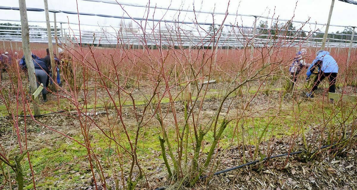 What varieties of blueberries should we plant in Europe?