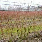 ¿Qué variedades de arándanos deberíamos plantar en Europa?