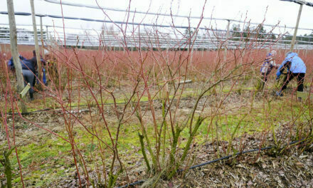 What varieties of blueberries should we plant in Europe?