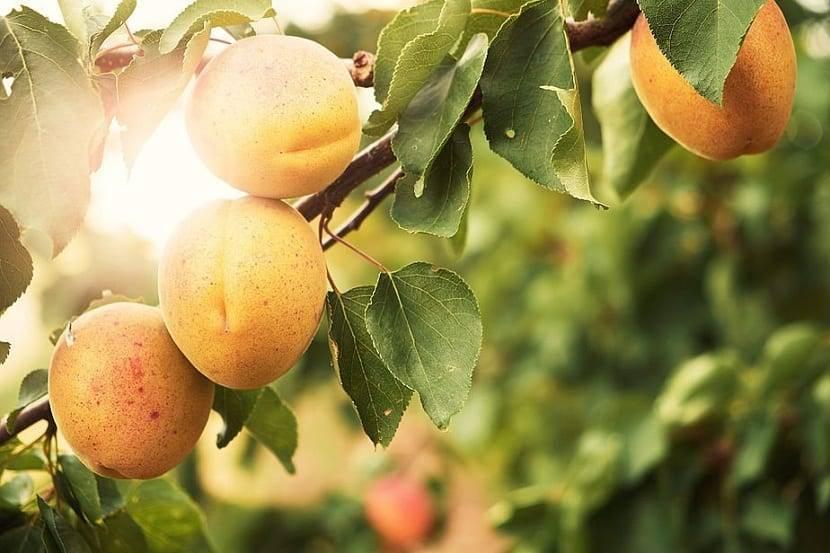 Certis: soluciones Bio-racionales para la prevención y control de las principales enfermedades en frutales de hueso y pepita