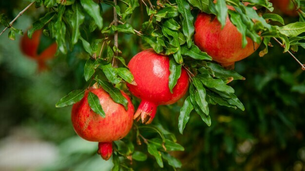 Effects of reducing irrigation on pomegranate fruit