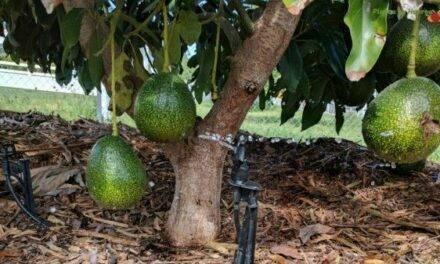 Ritec: control del nivel de humedad en el cultivo del Aguacate
