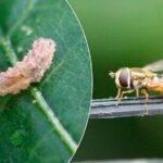 Nueva alternativa de control biológico para pulgones en hortícolas