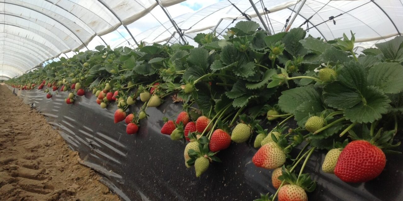 EL PINAR and PLANT SCIENCES revolutionize the strawberry market with Victory
