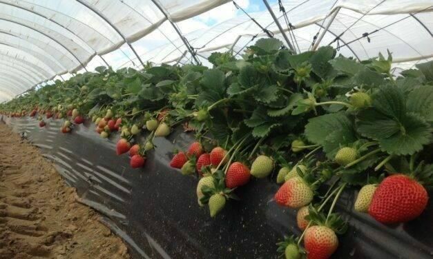 EL PINAR y PLANT SCIENCES revolucionan el mercado de la fresa con Victory