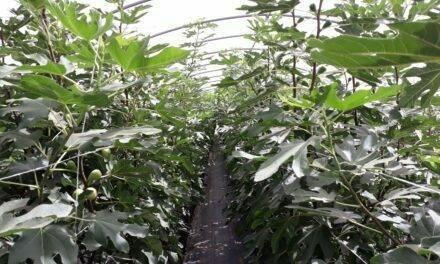 Producción sostenible y superintensiva de frutales bajo invernadero