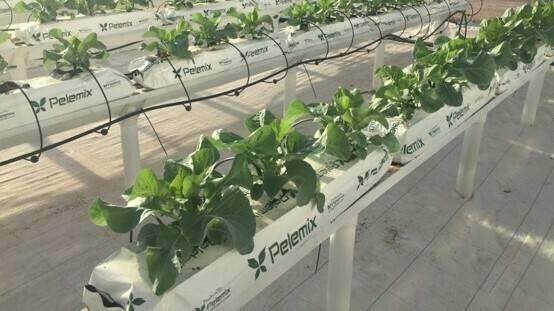 El cultivo de colilflor bajo estrés mejora su valor nutricional