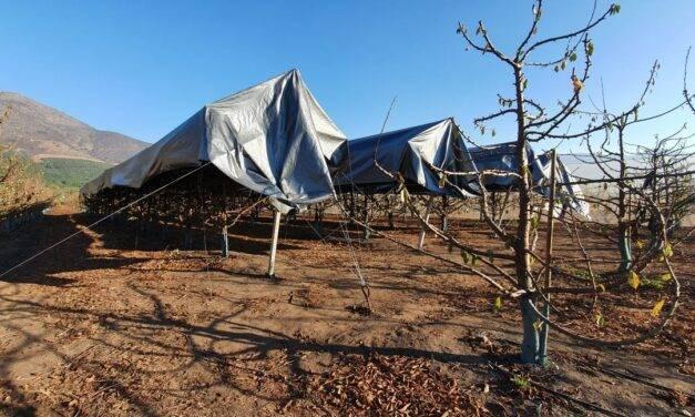 Mejora la acumulación de horas frio en cerezos con Agricooler de agrotextiles Agralia