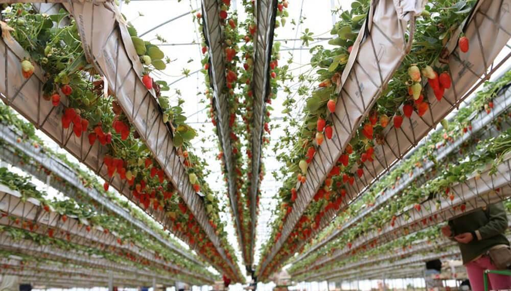 Producción de fresas en sistema NGS