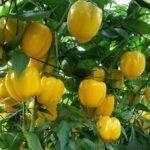 Mayor firmeza y aumento de la vida útil en pimiento california Celaya con la tecnología de Ecoculture