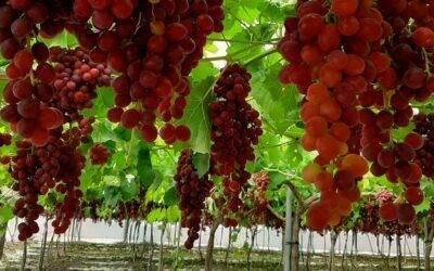 Protege la uva de mesa con Agricover U de Agralia