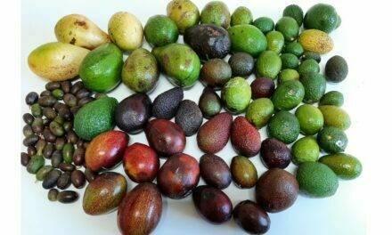 Cultivo de aguacate en la península ibérica