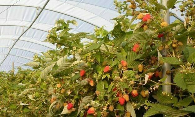 Frambuesa: producción, mercado y comercialización