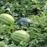 Aumento del control biológico en cultivos gracias a la campaña 'I Love Bichos'