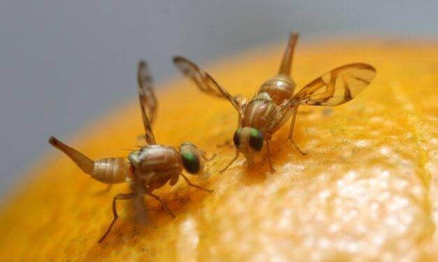 La mosca de la fruta, una especie tan dañina como sorprendente