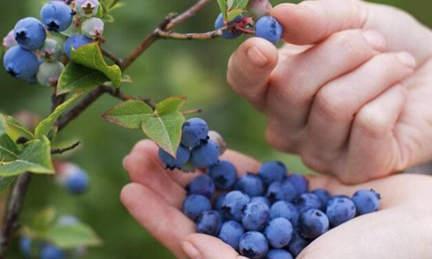 Ritec estará presente en el XX Seminario Internacional de Blueberries en México