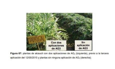 El cultivar Gauchito de alcachofa, entre otras ventajas, pardea menos