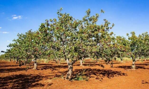 Regaber organiza una jornada sobre el cultivo de pistacho