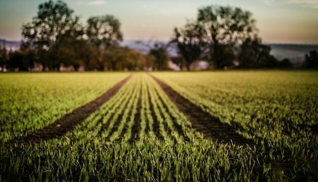 NHDeltaFe mejora la absorción de hierro y el crecimiento de la planta