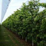 Arrigoni solutions for cracking and pests in cherry cultivation